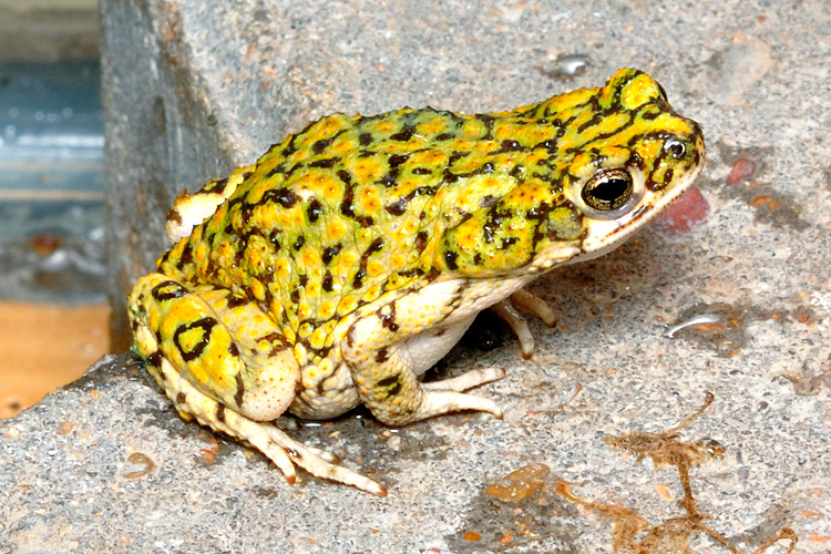 North American Green Toad