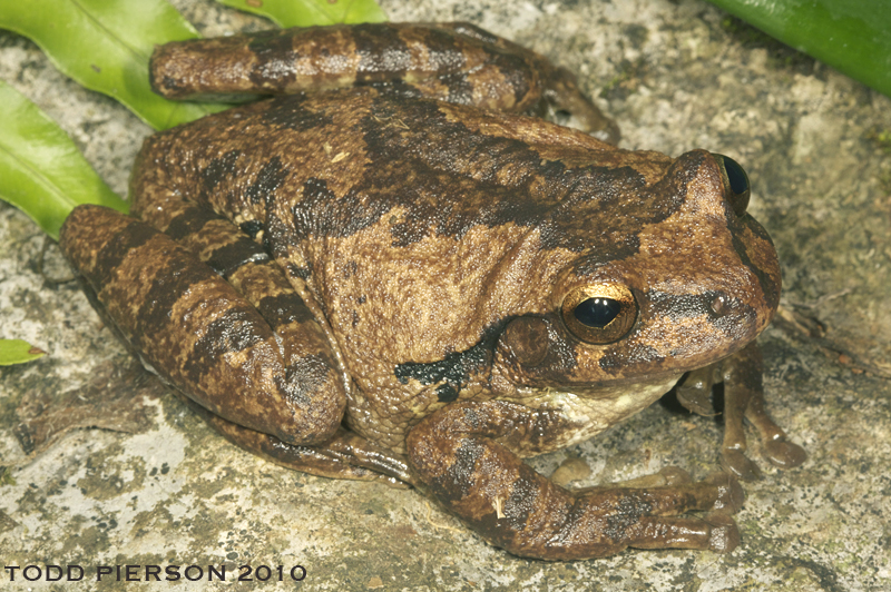 Common Mexican Tree Frog