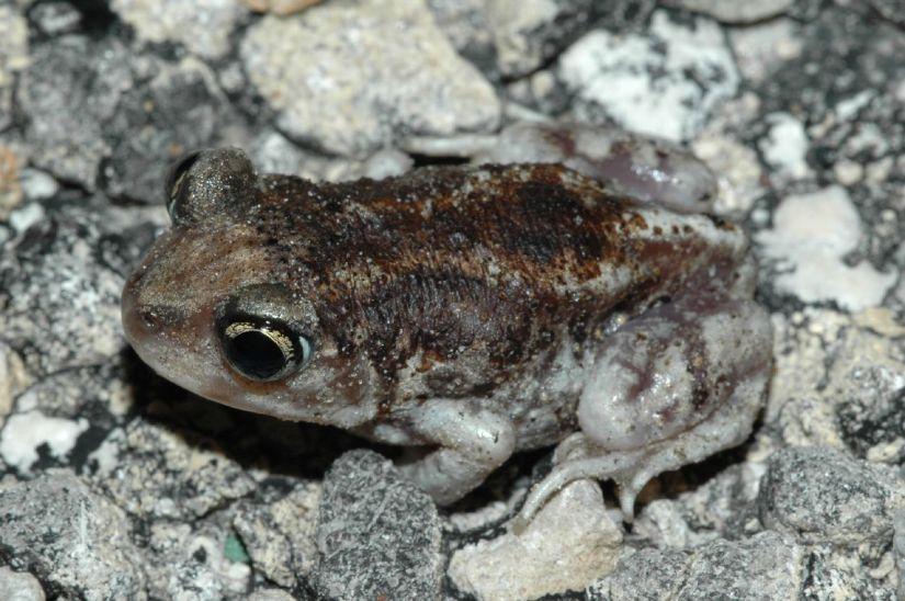 Hurter's Spadefoot Toad