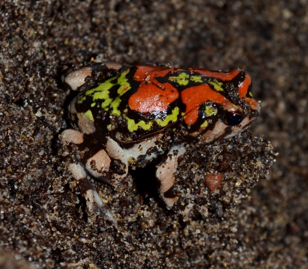 Malagasy Rainbow Frog