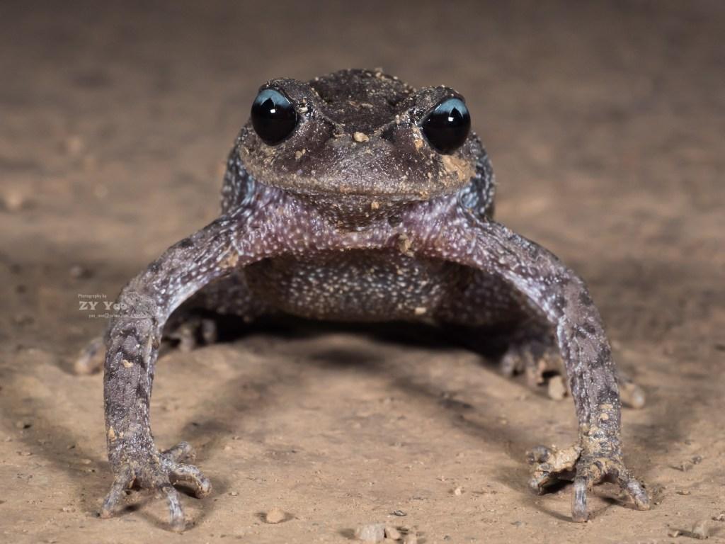 Emei Moustache Toad