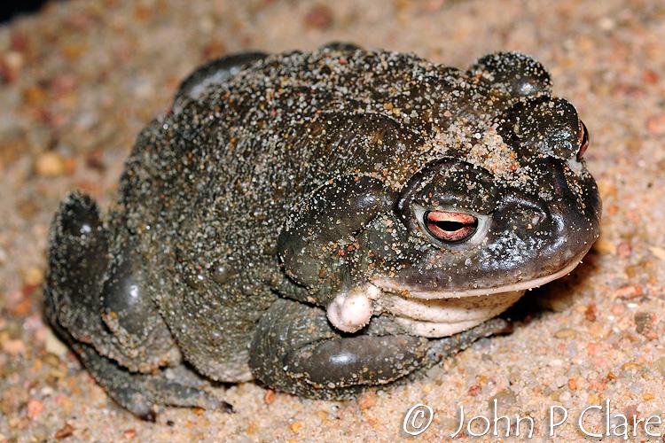 Colorado River Toad