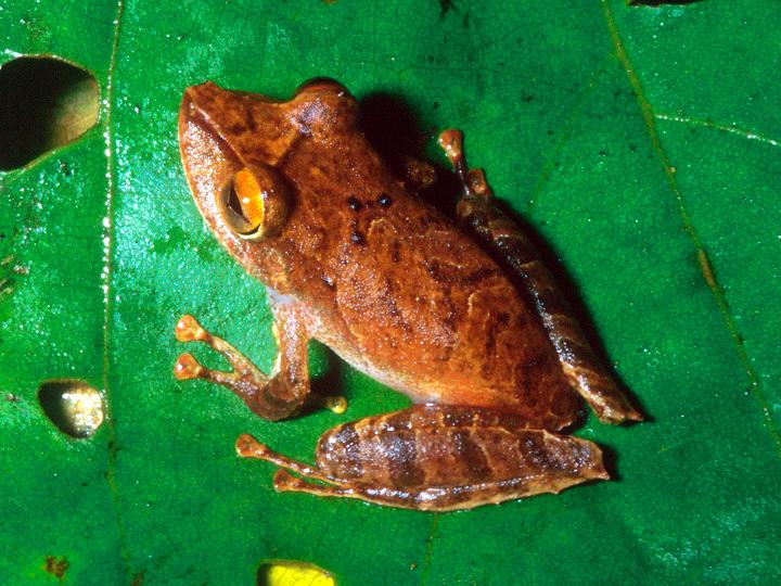 La Loma Robber Frog
