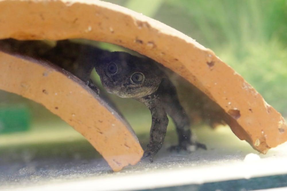 Loa Water Frog
