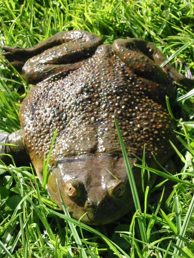 Helmeted Water Toad