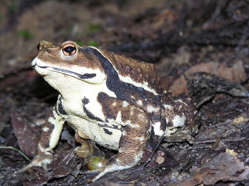 Japanese Common Toad