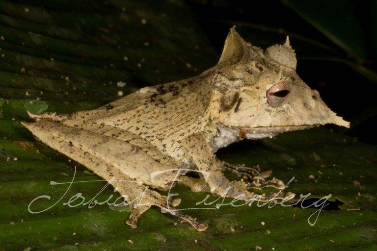 Sumaco Horned Treefrog