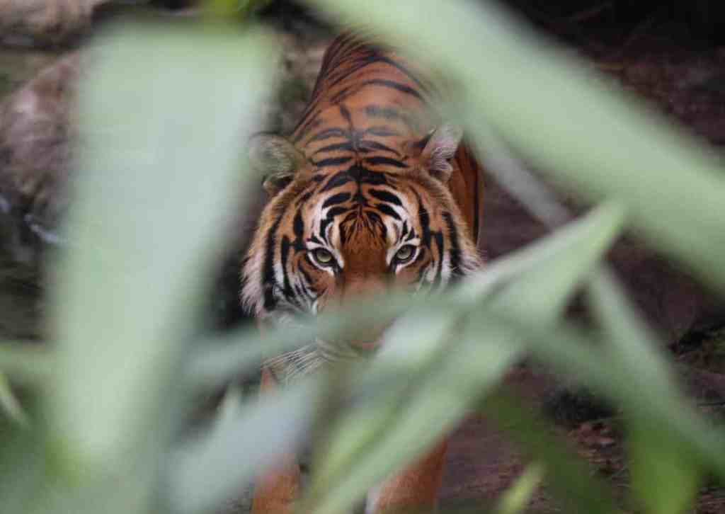 tiger looking through greenery in the zoo