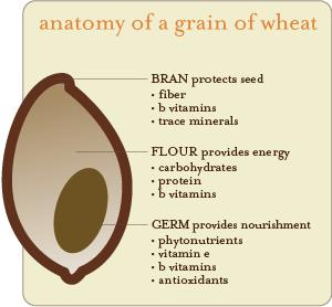 anatomy_of_a_grain_of_wheat