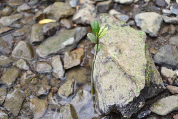 石抱きガジュマル