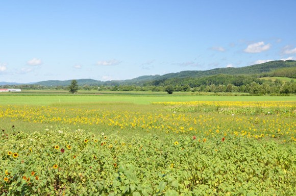 Sun Flower Fields, Nayoro, MOA Nayoro Farm Kousei Venue
