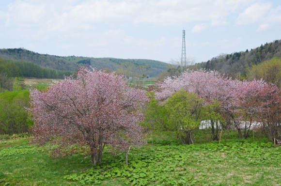 Cherry Blossoms of Furen Bokodai Nature Park in Nayoro
