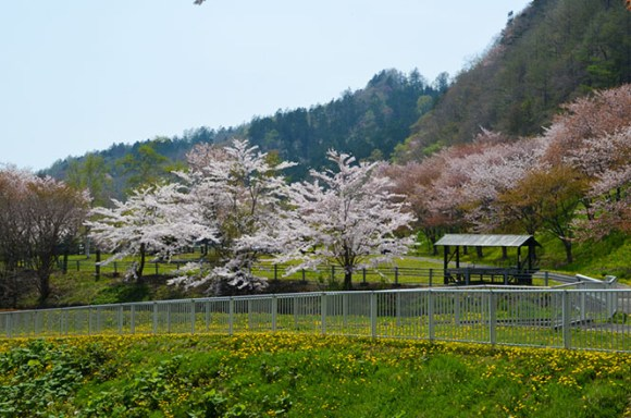 Cherry Blossoms of Samani Dam