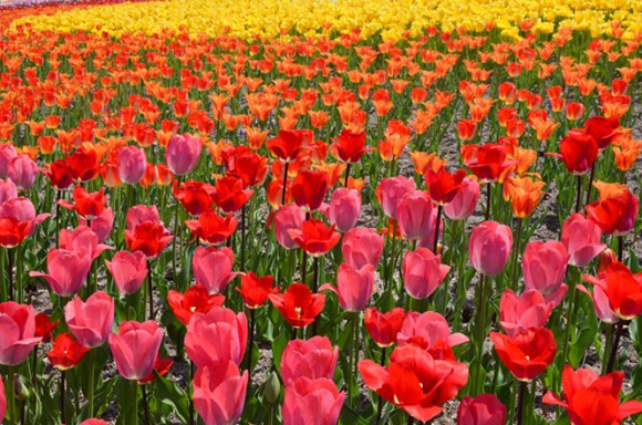 Tulips -Takino Suzuran Hillside National Government Park in Sapporo-