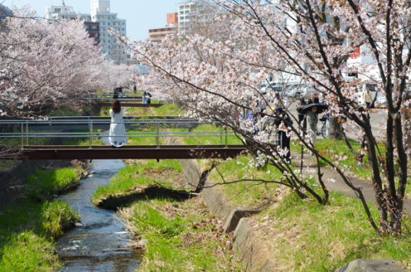Cherry Blossoms of Civil Engineering Research Institute for Cold Region in Sapporo