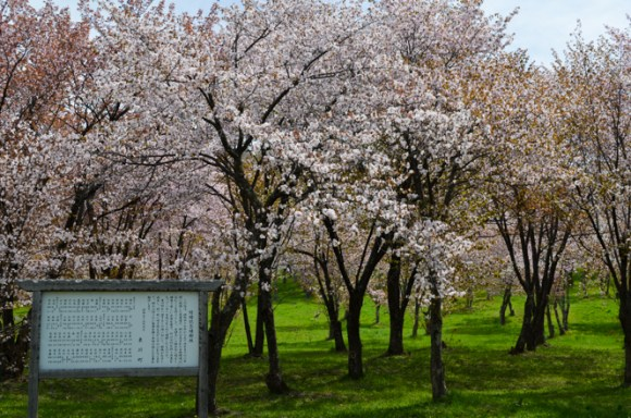 Cherry Blossoms of Kitoushi Forest Park in Higashikawa