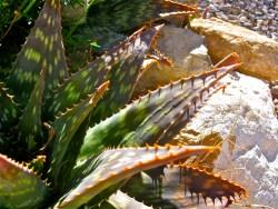 Aloe vera for health