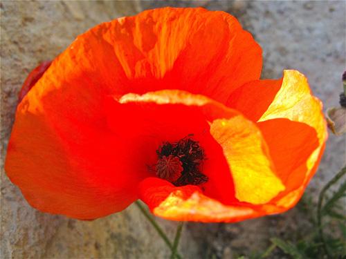 Poppy_in_Spain