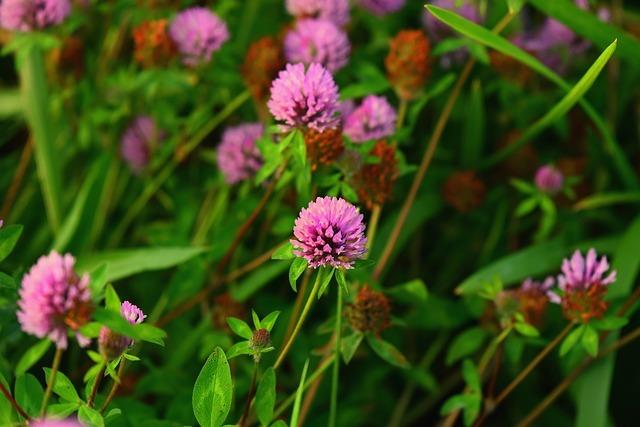 Lucky clover plant