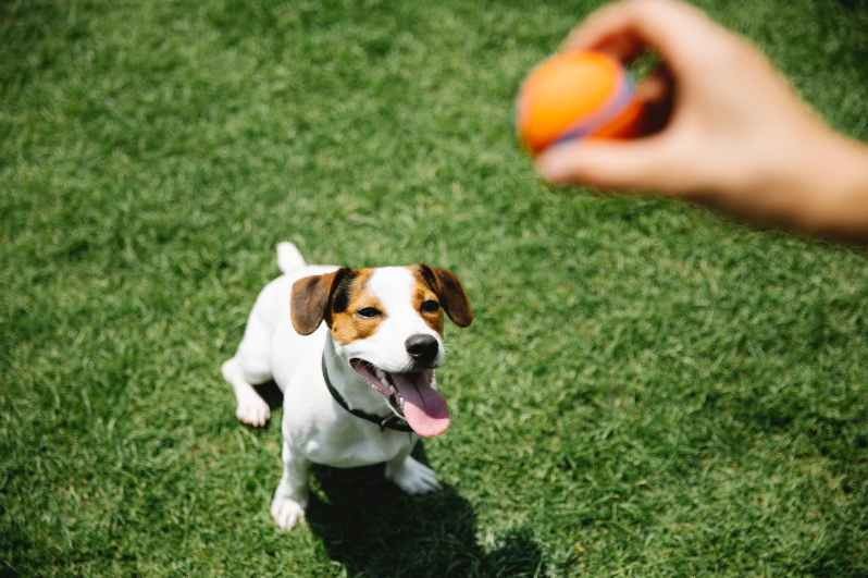 crop owner with ball taming purebred dog on lawn