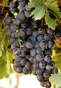 grape of Ribera del Duero