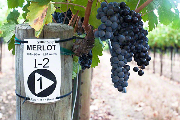Merlot on the vine in the Napa Valley