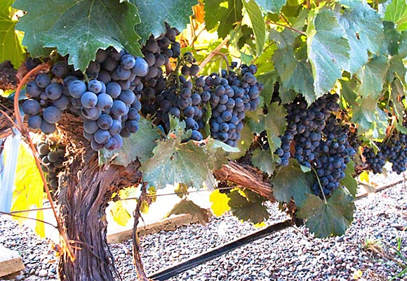 Malbec grapes - Tapiz Winery in Mendoza