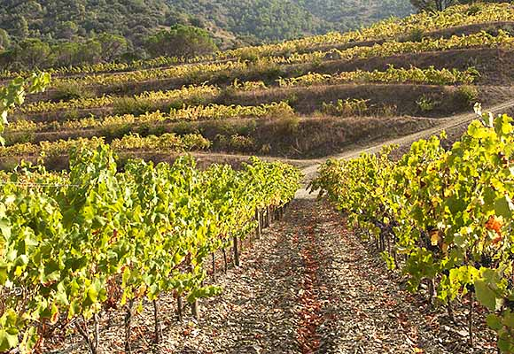 Garnacha vines in Black Slate (llicorella) soil