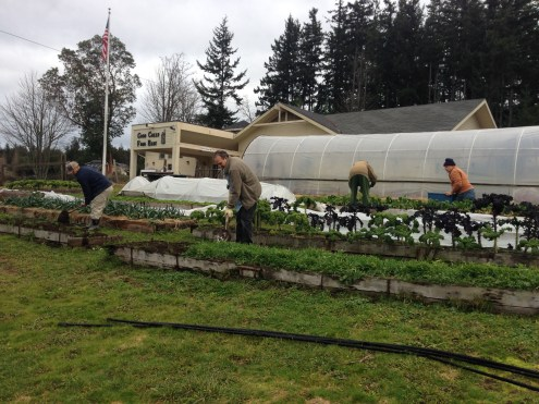 Many garden volunteers helped turn our cover crop!