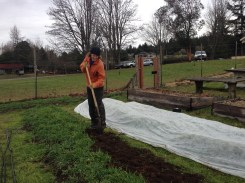 Arwen turning in cover crops