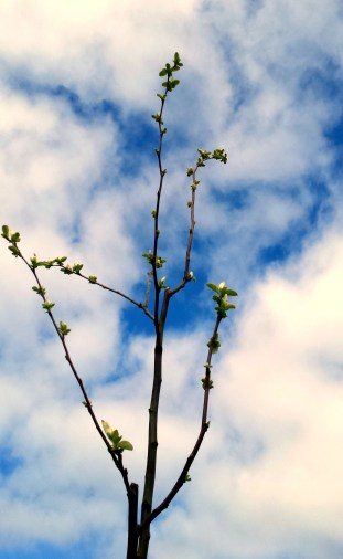 A young fruit tree reaches for the sky