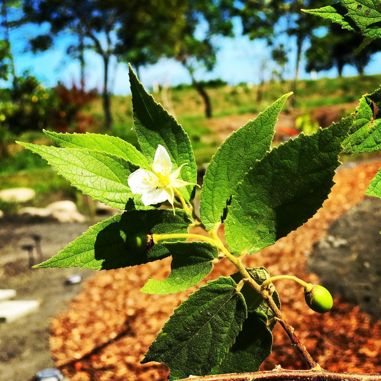 南美假櫻桃