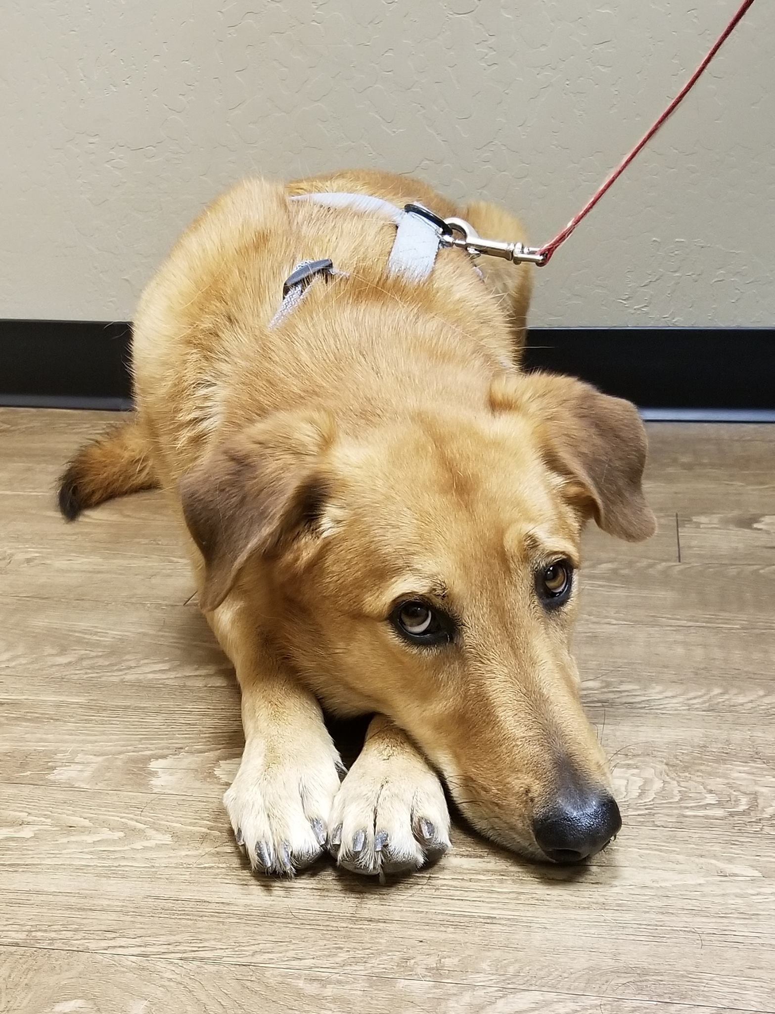 Picture of dog in rescue, German Shepard Mix, Sparrow