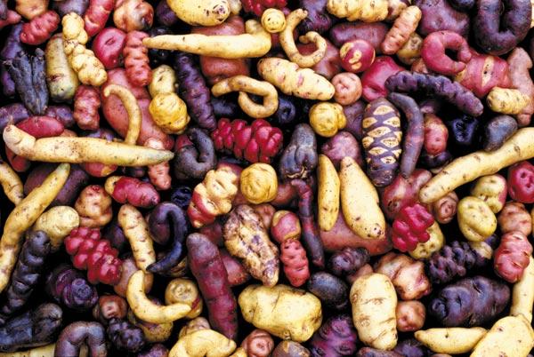 A Lesson in Diversity – The Potato