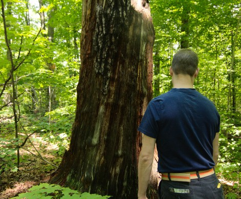 Peters Woods Pine Stump