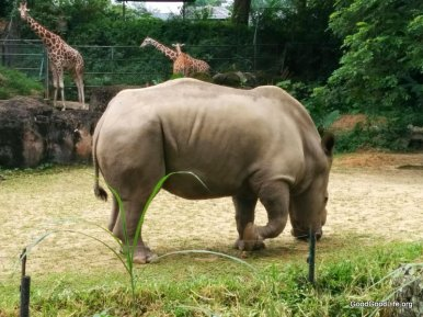 Rhinosaurus or Rhinoceros at the Zoo Negara with Giraffes