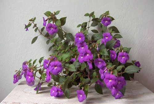 Ахименесы: уход и выращивание, полезные советы для цветоводов