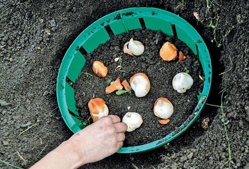 Посадка тюльпанов в корзины ящики контейнеры технология