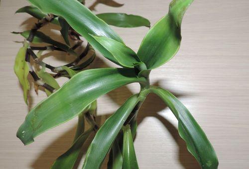 Mustață de aur, care tratează bolile grele. Floarea de aur americană: Îngrijire și cultivare acasă