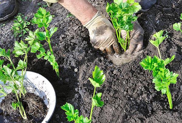 Черешковый сельдерей правильно выращиваем полезное растение