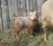 Rupert, Acorn's ram lamb