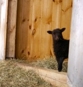 Bira peeking out from the barn