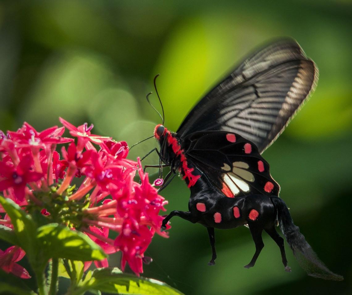 red butterfly centaur