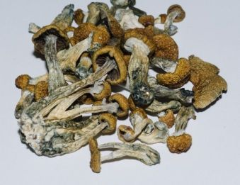 Psilocybin-Mushrooms