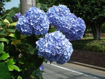 紫陽花 の 植え 替え 時期