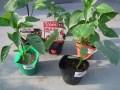夏野菜の栽培が簡単にプランターで栽培!初心者におすすめの8種類は!