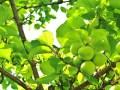 梅酢の作り方が簡単にわかる!効能と賞味期限にドリンクの作り方!
