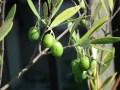 オリーブのベランダでの育て方と土と植え替え時期や虫と栄養不足に注意!