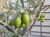 オリーブの品種は組み合わせで受粉しやすい!相性バッチリなのは