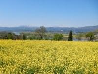 飯山市菜の花公園の見頃と駐車場&稀少な黄桜、御衣黄が見られる!